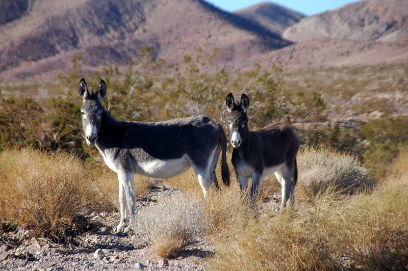 After hiking for about an hour, I came upon a couple of wild burros. There must be a lot of these in the area. I was finding their footprints all day.