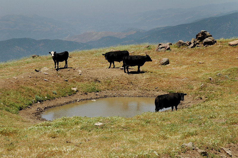Came upon these cows at a water hole right beside the road.