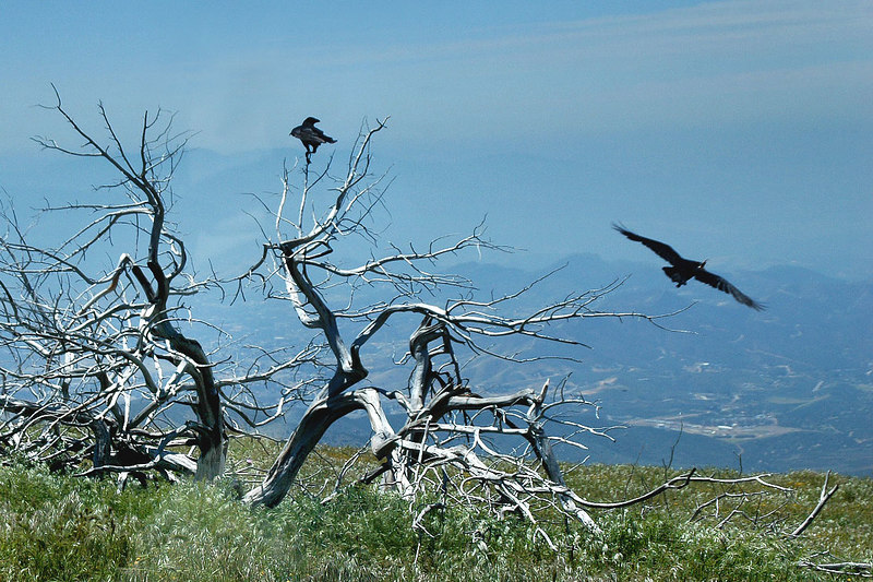 There were a lot of ravens in the area.