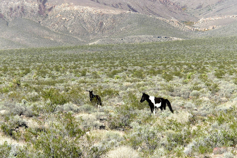 Two of the four wild horses I saw on the way to my camp spot.  Earlier in the day I was at Lake Mead checking out the crash site of a F-86E Sabre. I'll be camping in the area tonight and doing the hike to the Tri-Placer in the morning.
