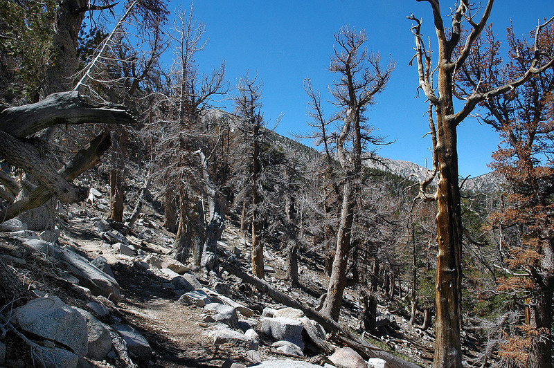 Lot of dead trees on this section of trail as I near Mine Shaft Saddle.
