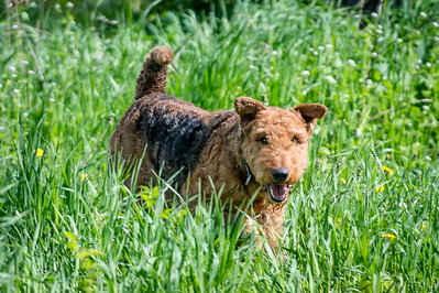 Airedale Club 5/13/2016