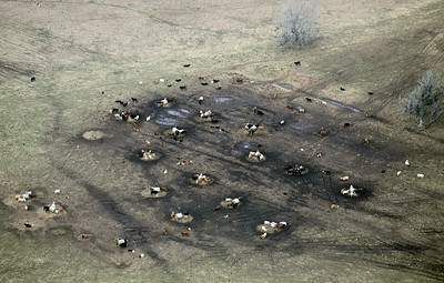 Cattle clustered about a modest source of water