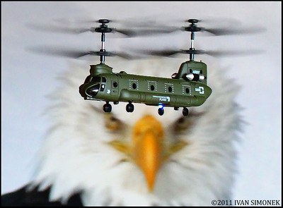 """MAKING A PASS"",a framed eagle watching a R/C minihelicopter (6"" long) flying by."