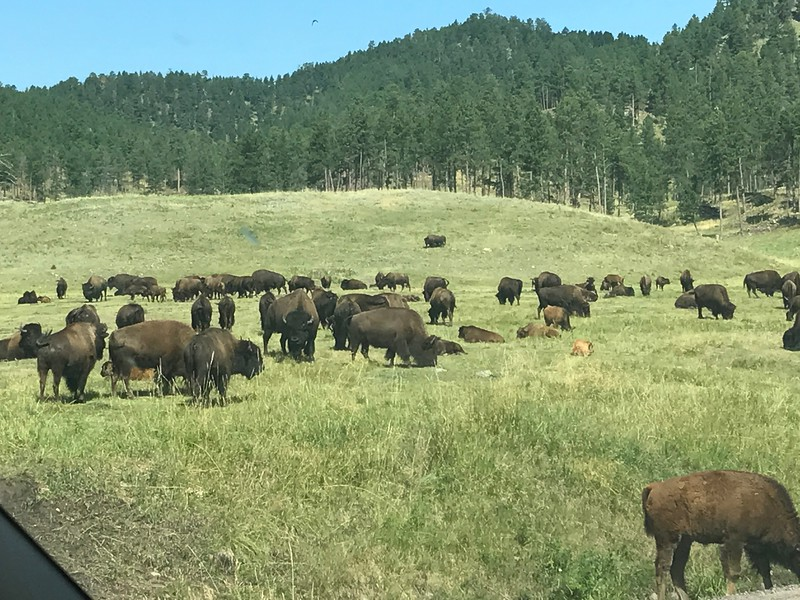 Well over 100 bison in this field. Lots of babies.