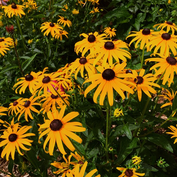 Black-eyed Susan's at the dorms