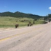 We headed north from Wind Cave NP through Custer State Park. We saw this herd of bison on the road.