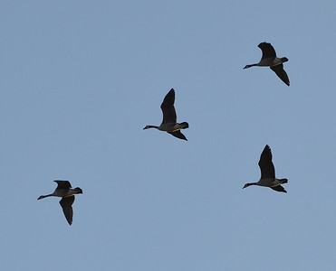 Canada Geese in formation !