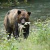 """All of the bears at the creek are named by the rangers. This bear is known as """"dog bear"""" because he sits like a dog in the water. Here he is with his catch - about a 25-pound salmon."""