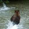 A blurry picture -- but you can see the salmon right in front of Marlene-bear