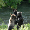 Two cubs play-fighting