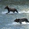The cubs first attempt to catch their own salmon