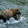 An unknown bear enters the creek  and catches a giant salmon