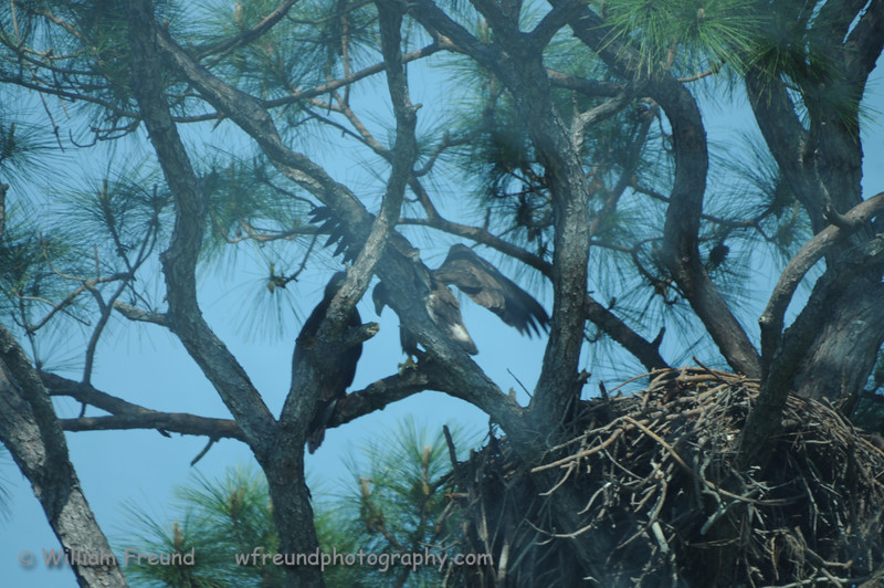 These are the baby eagles.  The nest is that huge pile of wood on the lower right.  Sorry about the quality of the shot but we had to shoot through the bus window!