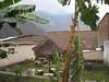Banana Tree at Hostel 10-30-08