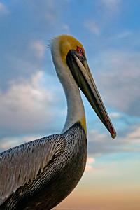Pelican Portrait_2522