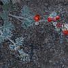 Globemallow bloom