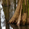base of a tree in an oxbow lake that is part of the swamp at Perry Lakes Park, Perry County, AL