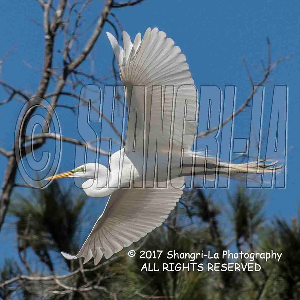 Great Egret - Double Crested Cormorant  02-26-2017_4BY2782P 4x4 wm cm