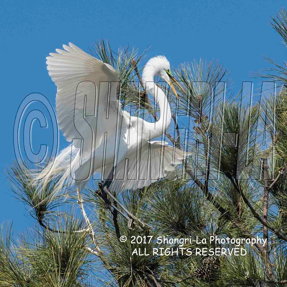Great Egret 02-26-2017_4BY2246P 4x4 wm cm