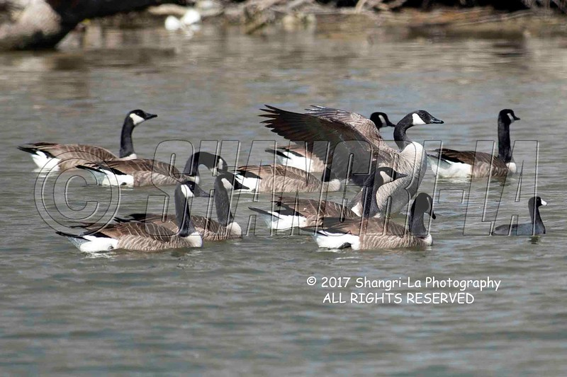 Canada geese and a coot 02-26-2017_4BY1720 wm cm