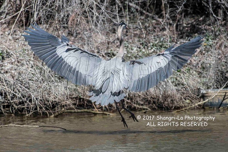 Great Blue Heron 02-26-2017_4BY2509 landing backside wm cm