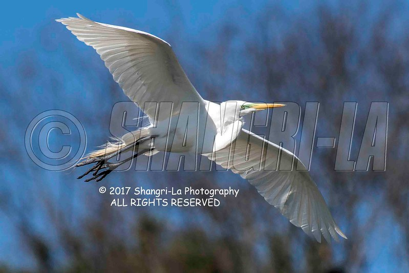 Great Egret 02-26-2017_4BY2198 wm cm
