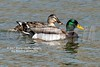 Mallard Ducks 02-26-2017_4BY1675 wm cm