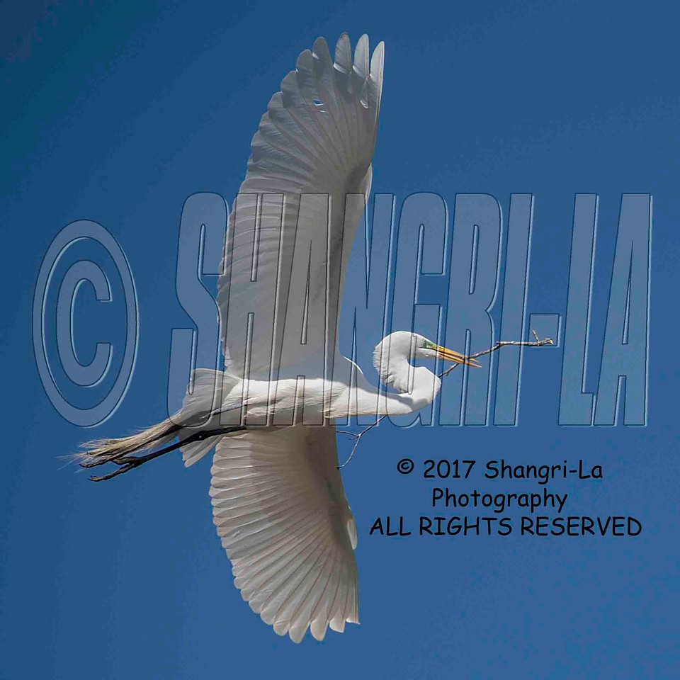Great Egret 02-26-2017_4BY2635P 4x4 wm cm