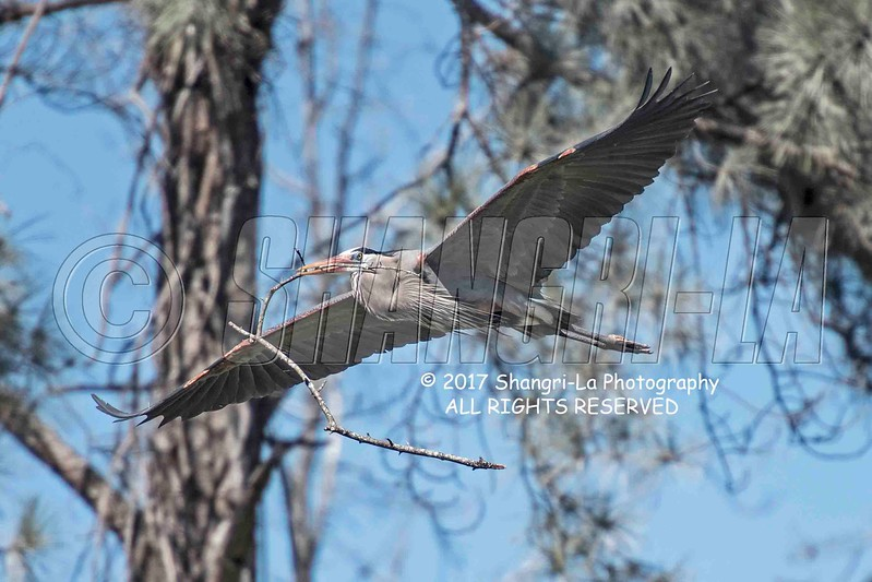 Great Blue Heron 02-26-2017_7501192 wm cm