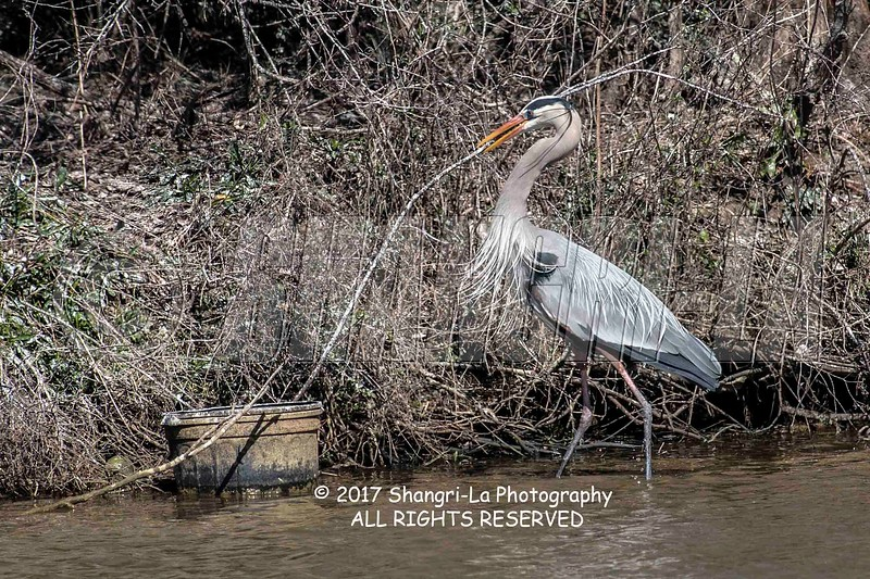 Great Blue Heron 02-26-2017_4BY2003 large stick wm cm