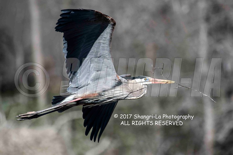 Great Blue Heron 02-26-2017_4BY1862 wm cm