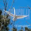 Great Egret 02-26-2017_4BY2430P 4x4 wm cm