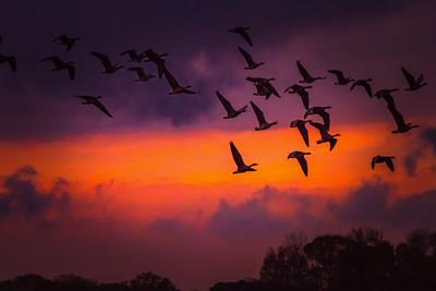 geese at Wheeler-8762