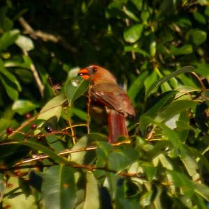 Cardinal in Alabama