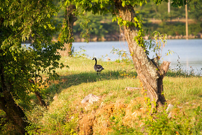 Goose Strolling Along the Tennessee River