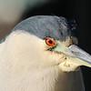 Black-crowned Night-Heron adult head shot