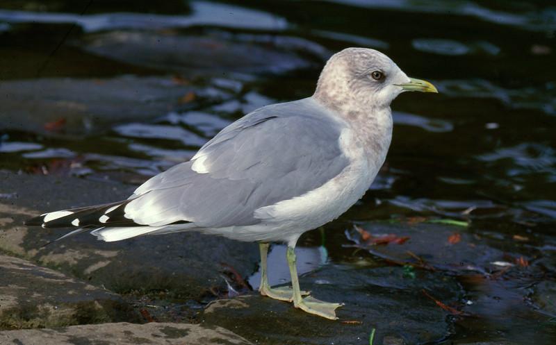 Mew Gull adult at Lake Merrit, Oakland CA