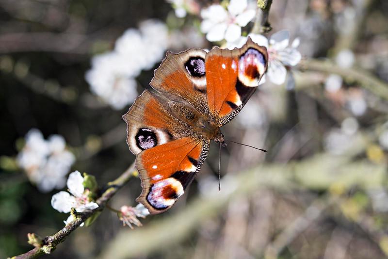 Peacock Butterfly (Aglais io) On Plum Blossom