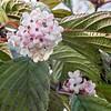 Viburnum Fragrans (Viburnum Farreri)