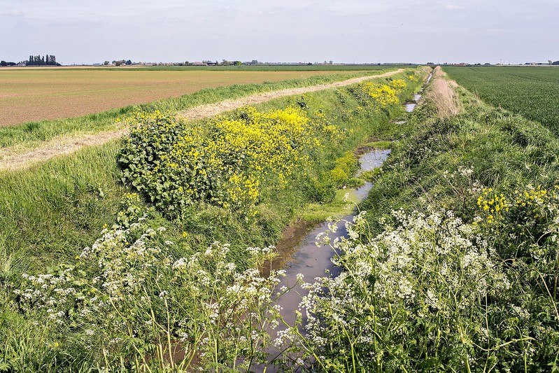 Stow Fen : black mustard on a fen ditch bank