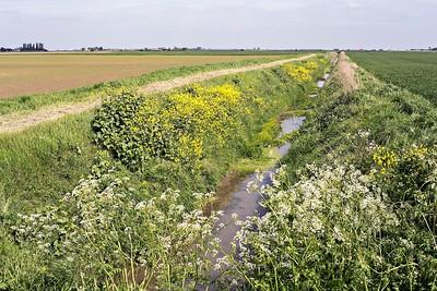 Stow Fen : black mustard on a fen ditch bank