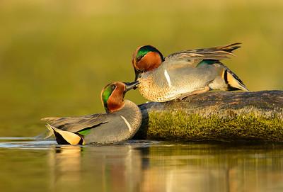 Green-winged Teal Estero Llano Grande State Park Weslaco, TX