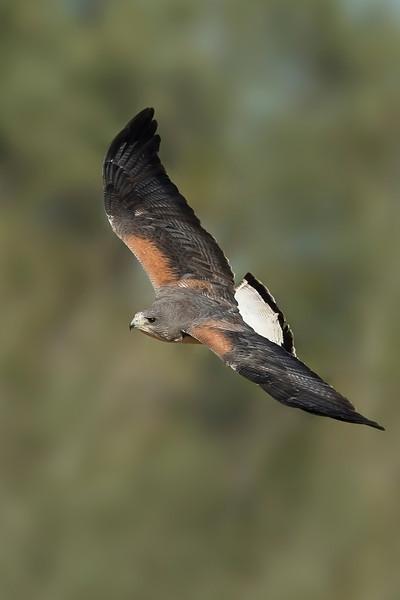 White-tailed Hawk Laguna Seca Ranch Edinburg, TX