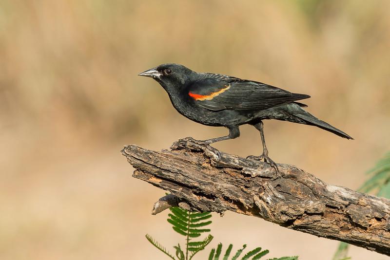 Red-winged Blackbird Casa Santa Ana Alamo, TX