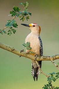 Golden-fronted Woodpecker Casa Santa Ana Alamo, TX