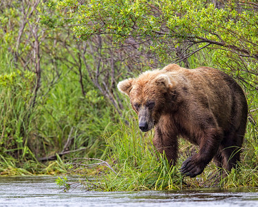 Often you'll see bears looking for salmon along the side of the river.