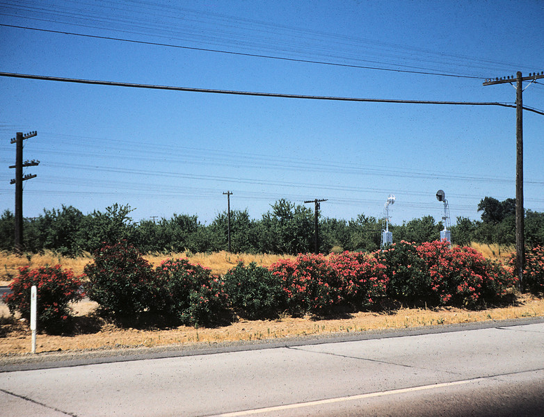Oleander row north of Merced on CA 99. July 04, 1958.
