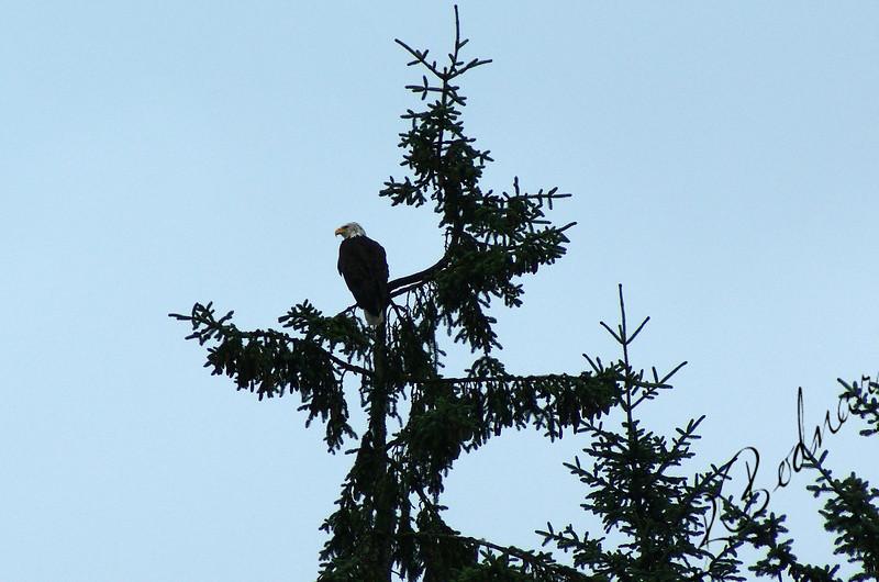 Photo By Robert Bodnar........Eagle, Juneau Alaska