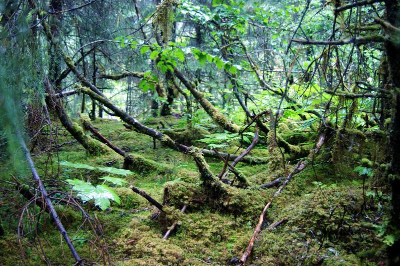 Photo By Robert Bodnar......Alask Rain Forest,  Juneau Alaska